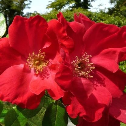 Роза Робуста BARNI
