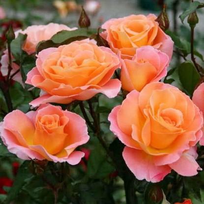 Роза Розмари Харкнесс