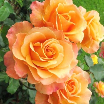 Роза Лолита BARNI