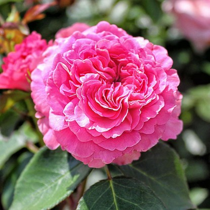 Роза Баронесса