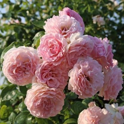 Роза Роуз де Толбиак