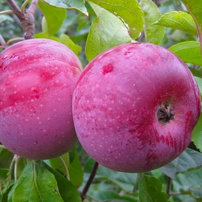 Яблоня Алеся