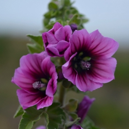 Малопа Пурпурея (сер. Устойчив к заморозкам)