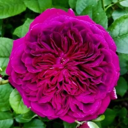Роза Уильям Шекспир 2000