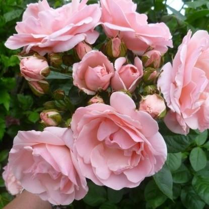 Роза Астрид Линдгрен С2