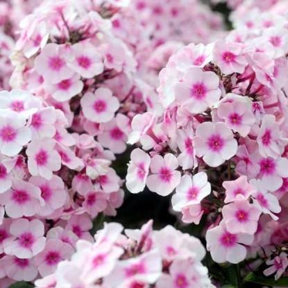 Флокс Чаровница розовая, Друммонда (сер. Розовые сны)