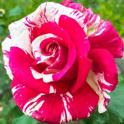 Роза Бест Импрешн