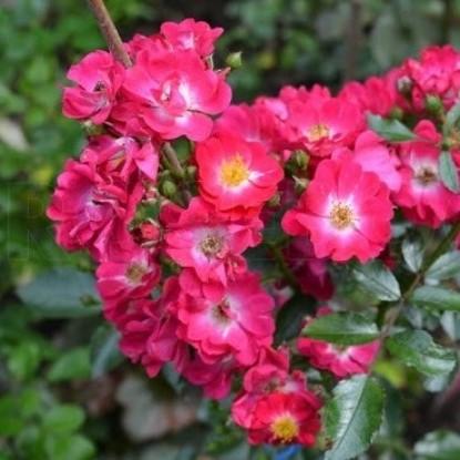 Роза Полюке BARNI