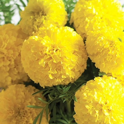 Бархатцы прямостоячие Лимонный принц (Тагетес)