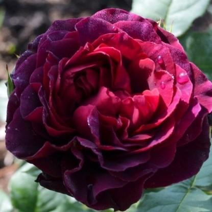 Роза Принц