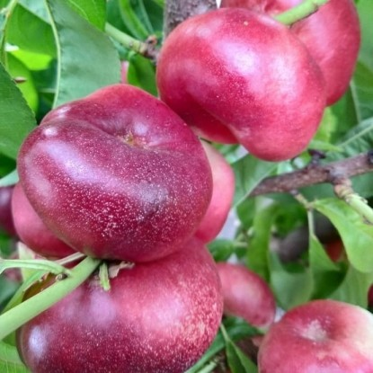 Персик инжирный Концеттина
