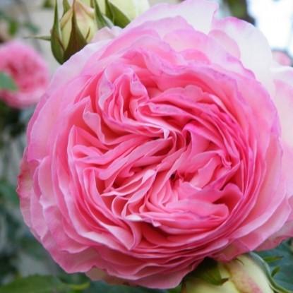 Роза Cале LACHARME