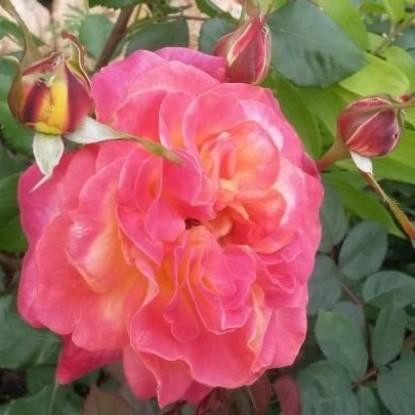 Роза Цыгане