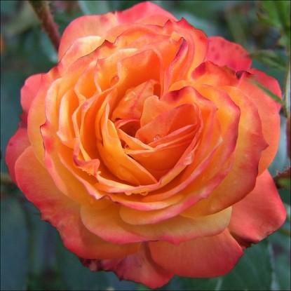 Роза Румба