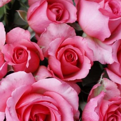 Роза Мондиаль штамбовая