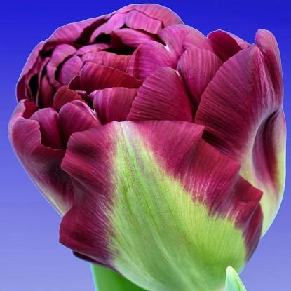 Тюльпан Аликанте