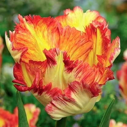 Роскошный пестрый тюльпан в ПОДАРОК