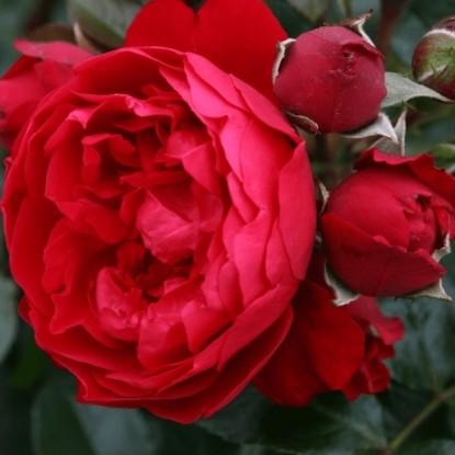 Роза Флорентина Kordes KORDES