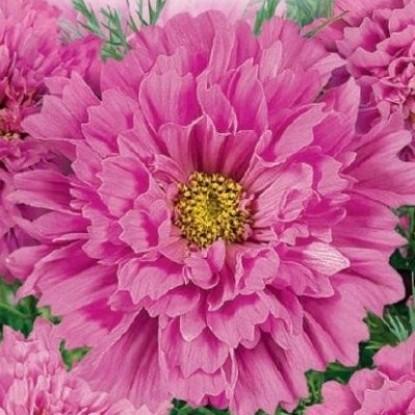 Космея Розовая долина махровая (сер. Розовые сны)
