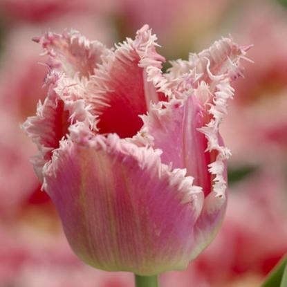 Тюльпан Бель Сонг