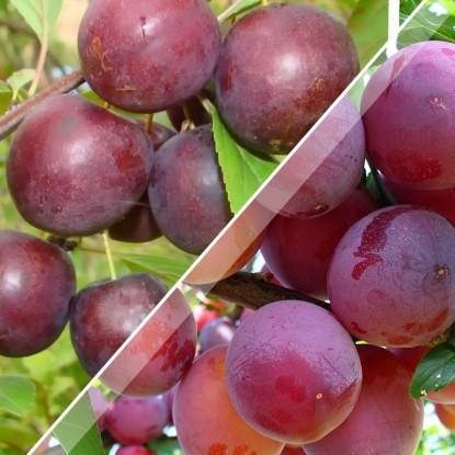 Набор Сливово-вишневый гибрид Опата + Набор Сливово-вишневый гибрид Бета