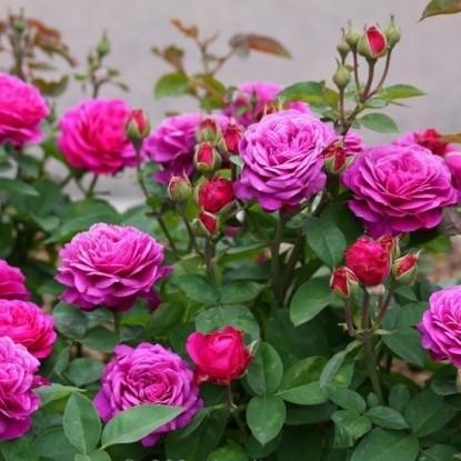 Роза Хайди Клум-Розе TANTAU