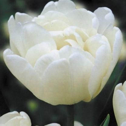 Тюльпан Мондиал