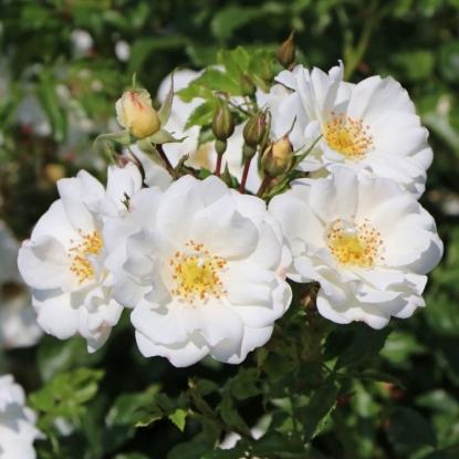 Роза Диамант