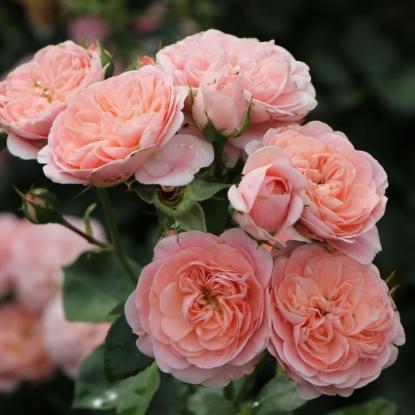 Роза Байландо