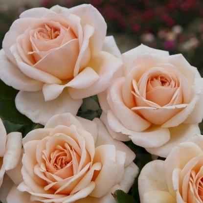 Роза Жардин де Багатель