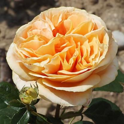 Роза Кэндллайт