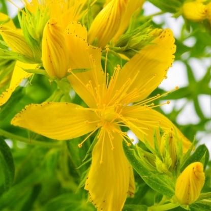 Зверобой продырявленный Солнечный (семена)