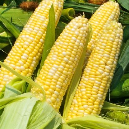 Кукуруза Российская лопающаяся 3 (сер. Ленивый огород)
