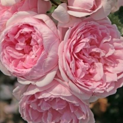 Роза Синдерелла