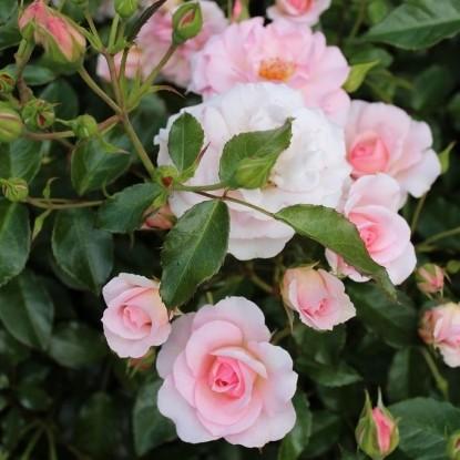 Роза Розарио TANTAU