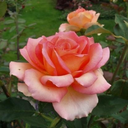 Роза Мондиале С2