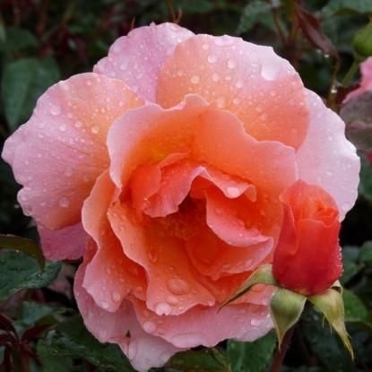 Роза Фрагрант Делай William E.