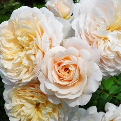 Роза Крокус Роуз С2