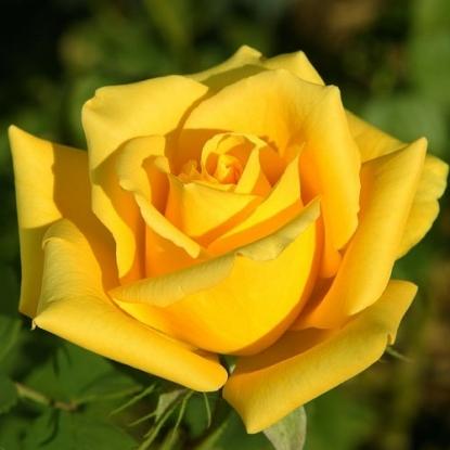Роза Загадка (Чайно-гибридная, желтая)