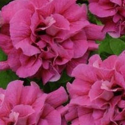 Петуния Дуо розовый F1 многоцв. (сер. Элитная клумба)