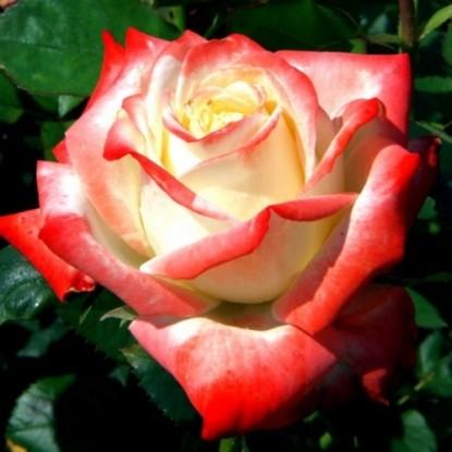 Роза Императрица Фарах