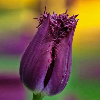 Тюльпан Бульдог