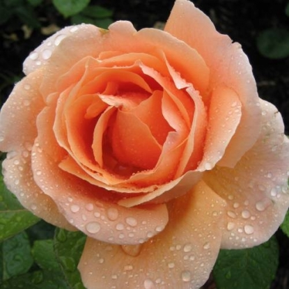 Роза Абби де Клуни