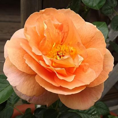 Роза Шоне вом Си