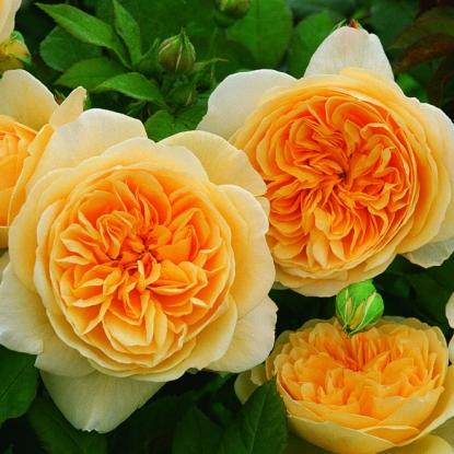 Роза Тизинг Джорджия