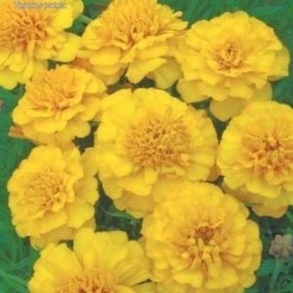Бархатцы Примо Желтые карликовые цп