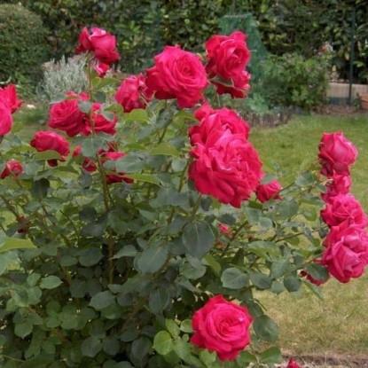 Роза Дам де Кёр BARNI