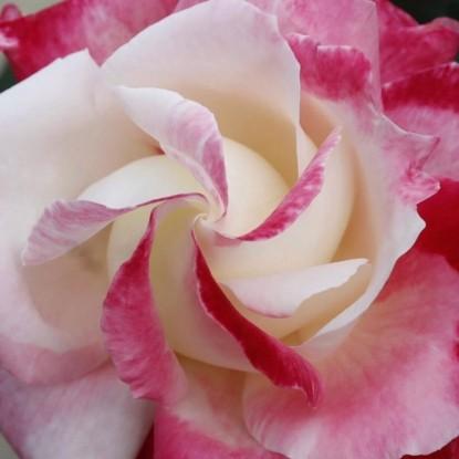 Роза Коломбина BARNI