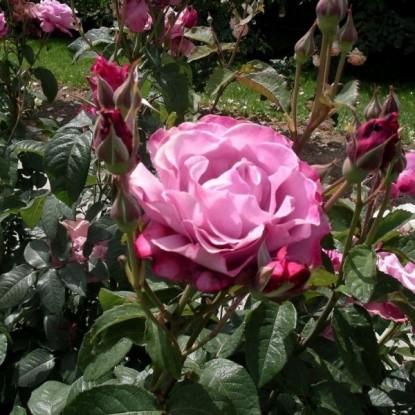 Роза Аметиста BARNI