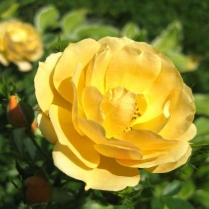 Роза Амбер Кавер